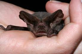 Mexican Free-tailed Bat.  Small, but well-aimed.