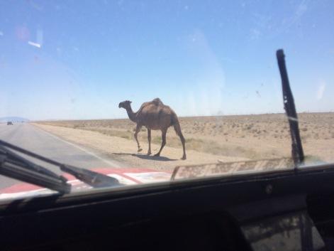 Random camel. Ahhhhhh, Turkmenistan.